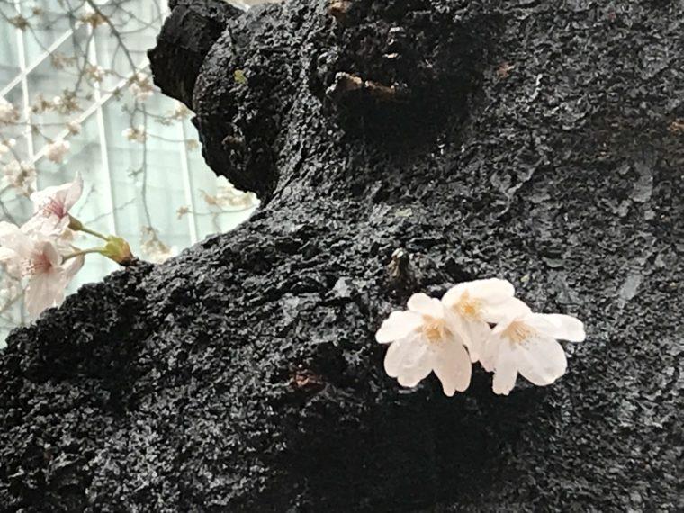 冷たい春の雨に濡れる、咲き始めの桜