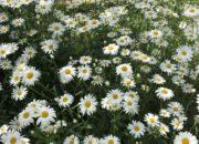 初夏の花壇のデージー